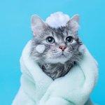 Kamu pasti tidak tega bukan melihat kucing kesayanganmu menderita gatal karena kutu? Untuk mengatasinya kamu bisa memandikan kucing dengan menggunakan sampo khusus pembasmi kutu. Tak perlu bingung memilih, ini dia 10 rekomendasi sampo yang ampuh membasmi kutu pada kucing.