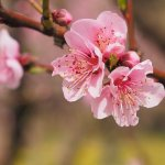 Top 10 loại hoa chơi Tết miền Bắc được ưa chuộng nhất (năm 2021)