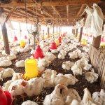 Beternak ayam menjadi bisnis yang menjanjikan. Namun untuk memastikan ayam tumbuh dengan baik serta dapat menghasilkan telur dan ayam berkualitas, pakannya pun tidak boleh sembarangan. Dalam artikel ini, BP-Guide akan memberikan rekomendasi pakan ayam alami yang bisa dibeli atau dibuat sendiri.