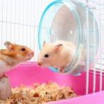 Hamster, hewan imut yang satu ini bisa jadi alternatif untuk Anda yang ingin memelihara hewan peliharaan lucu yang tak perlu banyak perawatan mahal. Tertarik untuk memeliharanya? Eits, Anda juga mesti tahu cara merawat dan produk perawatan yang tepat untuk si hamster lho!