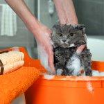 10 Rekomendasi Sampo Kucing agar Bulu Kucing Lebih Indah dan Lebat (2020)