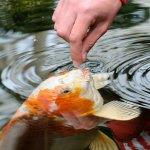 Ikan hias memang sangat pas dipelihara. Selain jadi hiasan rumah, juga sekaligus sarana refreshing diri. Nah, untuk menjaga ikan Anda tetap sehat, makanan ikan juga harus rutin diberikan. Simak tips dan rekomendasi BP-Guide berikut untuk Anda yang memelihara ikan hias di rumah.
