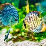Ikan-ikan Hias Ini Akan Membawa Keberuntungan untuk Anda, Tertarik Memeliharanya? (2020)