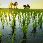 Pemupukan adalah bagian penting dari menanam tanaman, tak terkecuali padi. Apalagi jika padi adalah salah satu bahan pangan yang paling dicari di Indonesia. Agar padimu tumbuh baik, ada beberapa pupuk yang direkomendasikan. Cek rekomendasinya di bawah ini.