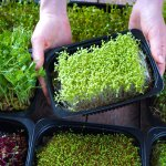 Find out everything you need to know about microgreens in this article. We have listed down the best microgreens you can include into your diet to make it more healthy. We have mentioned the nutrients they contain and for your benefit, have also added a bonus recipe featuring one of these microgreens. Go ahead!
