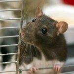 Tikus termasuk salah satu hewan kecil yang paling dibenci oleh banyak orang. Hewan ini merupakan salah satu hewan pengganggu dan sering dibasmi oleh manusia. Untuk membasmi tikus yang nakal di rumah, Anda tidak perlu membeli racun tikus atau membeli jebakan tikus. Berikut beberapa rekomendasi perangkap tikus yang bisa Anda buat sendiri di rumah.