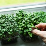 Microgreens are power-packed with nutrients and it is therefore important to include them in your family's regular diet. Moreover, they can be conveniently grown at home with little effort. This BP Guide will help you learn how to grow microgreens at home - with soil, without soil, in a jar, etc. It will also share the list of the top microgreens you can grow at home and some delicious yet nutritious microgreen recipes which are sure to appeal to all your family members, regardless of their age.
