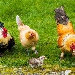 Punya Usaha Peternakan Ayam? Inilah 10 Pakan Ayam Alami dan 3 Rekomendasi Produk Pakan Ternak Terbaik