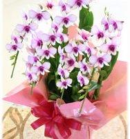 胡蝶蘭の誕生日プレゼント(お母さん・母)