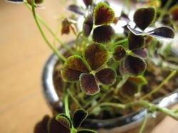 四葉のクローバー 観葉植物