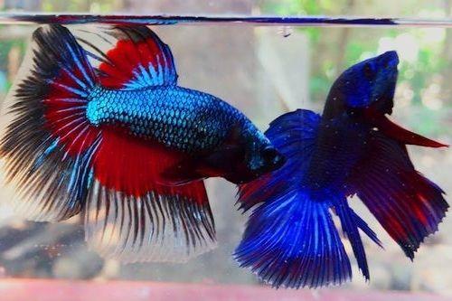 10 Rekomendasi Ikan Cupang Yang Dikenal Agresif Wajib Kamu Koleksi
