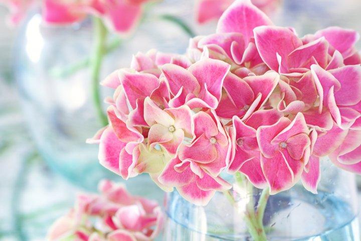 母の日に贈る紫陽花・アジサイ 人気&おすすめランキング25選【2021年版】