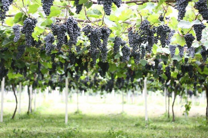 辛口の赤スパークリングワイン「ミュゼドゥヴァンoasis ブラッククイーンスパークリング」の開発秘話をインタビュー 株式会社アルプス