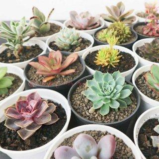 Kaktus atau Tanaman Sukulen dengan Model yang Lucu