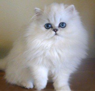 18. Kucing Persia yang Lucu