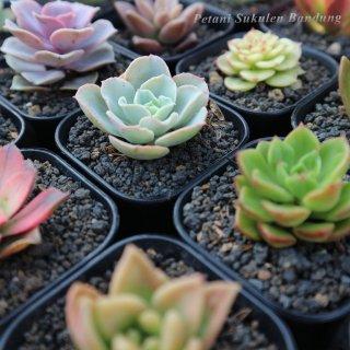 Kaktus Mini Warna-warni