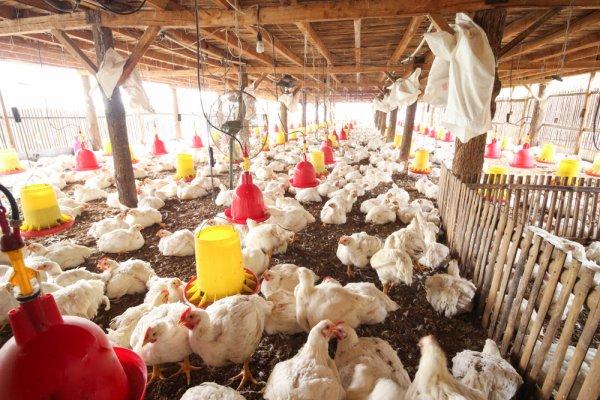5 Rekomendasi Produk Pakan Ayam Alami yang Bisa Dibeli dan Dibuat Sendiri (2021)