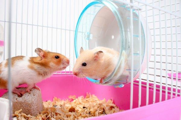 Ingin Memelihara Hamster yang Lucu Ini? Intip Tips Perawatan Hamster dan 10  Rekomendasi Perlengkapan yang Harus Dimiliki!