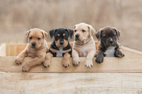 Do You Want a Guard Dog or a Furry Friend to Play With? Here are the 10 Best Dog Breeds in the World (2020)