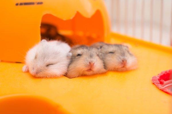 Lihat Tingkah Lucu Hamster Memainkan 9 Rekomendasi Mainan Hamster Ini