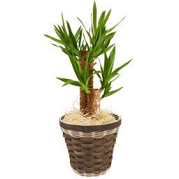ユッカ 選べる 観葉植物 6号鉢 幸福の木 マッサン 青年の木 ユッカ オーガスタ モンステラ 鉢植え 花 ギフト 後払 送料無料