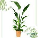 オーガスタ オーガスタ 8号【TD】(代金引換不可)観葉植物 【GW】 P19Jul15