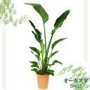 オーガスタ オーガスタ 10号【TD】(代金引換不可)観葉植物 【GW】 P19Jul15