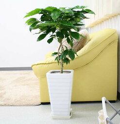 コーヒーの木 【送料無料】コーヒーの木 7号+選べるスクエアロング陶器鉢 Gタイプ|中型サイズの観葉植物