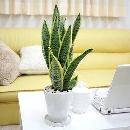 天然の空気清浄機、サンスベリア 空気を浄化するといわれているサンスベリア・ホワイト陶器鉢 丸ロング|小型サイズの観葉植物