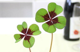 四葉のクローバー 観葉植物 幸せを呼ぶ!四葉のクローバー ミニ栽培ギフトキット(ジョウロ付き)