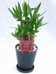 ユッカ ユッカ・エレファンティペス 2鉢セット (ブラック・ホワイトの6号(6寸鉢)2色セット) 青年の木と呼ばれるワイルドで力強い雰囲気が魅力の観葉植物【smtb-s】