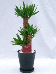 ユッカ ユッカ・エレファンティペス 2鉢セット (ブラック・ホワイトの7号(7寸鉢)2色セット) 青年の木と呼ばれるワイルドで力強い雰囲気が魅力の観葉植物【smtb-s】
