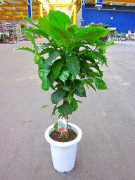 コーヒーの木 コーヒーの木 7号鉢(7寸鉢) 深い緑色のツヤツヤした葉っぱが特徴の美しい観葉植物です。きれいな緑がインテリアにもよく映え大変人気のありますので、プレゼントや贈り物にも最適です。