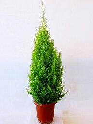 ゴールドクレスト ゴールドクレスト・ウィルマ(8号)もみの木の代わりとして、クリスマスシーズンに大人気の観葉植物です。かわいいオーナメントを付けて、クリスマスツリーを楽しみませんか。
