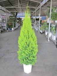 ゴールドクレスト ゴールドクレスト・ウィルマ(10号)もみの木の代わりとして、クリスマスシーズンに大人気の観葉植物です。かわいいオーナメントを付けて、クリスマスツリーを楽しみませんか。【smtb-s】
