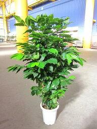 コーヒーの木 コーヒーの木 10号 深い緑色のツヤツヤした葉っぱが特徴の美しい観葉植物です。きれいな緑がインテリアにもよく映え大変人気がありますので、プレゼントや贈り物にも最適です。【smtb-s】【05P01Mar15】