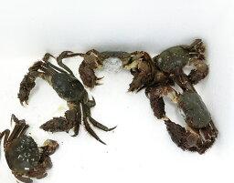 上海蟹 【送料無料】日本の上海蟹 モクズガニ 3匹セット【天然】【冷凍】