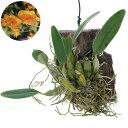 デンドロビウム (観葉植物)洋ラン デンドロビウム リンドレィ (アグレガタム マジャス)(1株)
