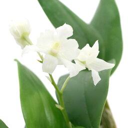 デンドロビウム (観葉植物)洋ラン デンドロビウム ミニスノーフレーク 3号(1ポット) 北海道冬季発送不可