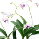 デンドロビウム (観葉植物)洋ラン デンドロビウム キンギアナム シルコッキー 2.5〜3号(1ポット)