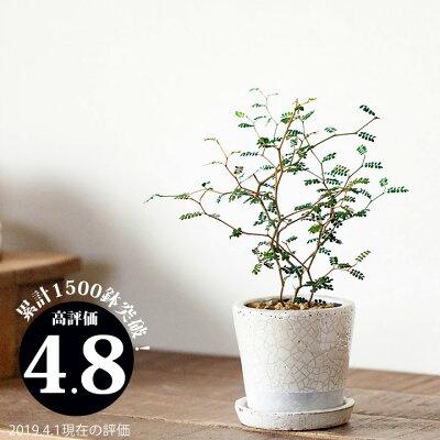 ●完売御礼!お届けは5/28〜観葉植物] 小さいサイズですが、枝のいいとこ選んでます。クネクネ♪人気のソフォラ・ミクロフィラを、キュートなカラー陶器に植えて。【ミニ観葉植物なので、室内にインテリアとして飾りやすい! リトルベイビー】