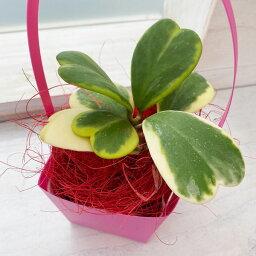 ラブラブハート 観葉植物/ホヤ:カーリー斑入り3.5号鉢入り