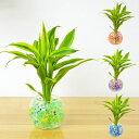 ドラセナ 【送料無料】ミニ観葉植物 ドラセナ・サンデリアーナ スフィアガラス ゼリー植え