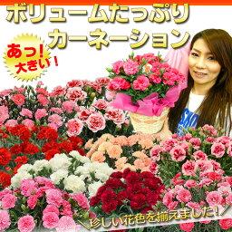 鉢 2018 母の日プレゼント 早割 送料無料「ボリュームたっぷりカーネーション」今年は新色が5つも仲間入り!全部で9色の珍しい花色ばかりを集めました!累計1万人以上のお母さんの笑顔に貢献したお花はコレ!鉢植え 後払い可能 プレゼント