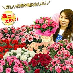 鉢 母の日 カーネーション プレゼント ギフト 花 鉢植え 5号 上質ボリュームたっぷり 関東送料無料