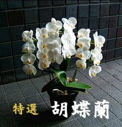蘭(ラン) ホワイトデー 誕生日 にも 胡蝶蘭 中輪 白 3本立ち〜5本立ち