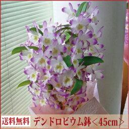 デンドロビウム デンドロビウム<ギフト向き><ピンク系・45cm>【あす楽対応】【送料無料】【ラン花鉢 鉢植え】【北海道・寒冷地・沖縄はお届けできません】