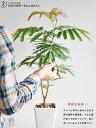 エバーフレッシュ 【 観葉植物 】【送料込】 table green series 白色スリム陶器鉢に植えた エバーフレッシュ【母の日ギフト】