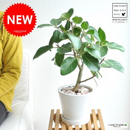ゴムの木 ベンガルゴム 白色 中型ラウンド 陶器鉢 大きな葉の植物 ベンガレンシス ゴム ゴムの木 敬老の日 ポイント消化 観葉植物 送料無料