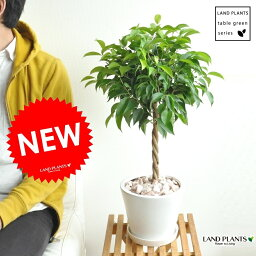 ゴムの木 new!! ベンジャミン 大人気のトピアリー仕立て 白色デザイン陶器に植えたフィカス・ベンジャミナ ゴム ゴムの木 敬老の日 ポイント消化 観葉植物